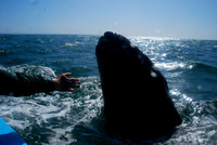 WHALES, WILD LIFE AND ISLANDS, BAJA CALIFORNIA -2009